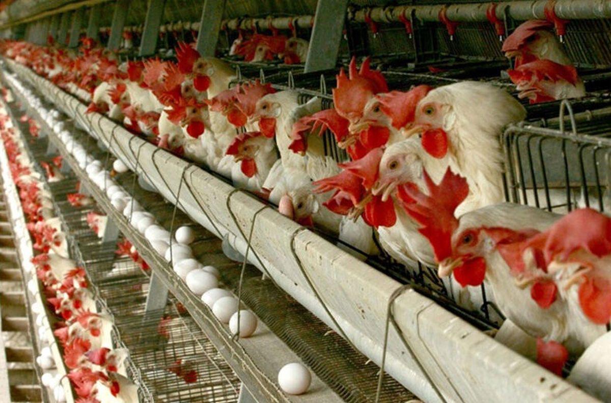 ماجرای خوراندن تریاک به مرغ ها چیست؟| رئیس سازمان دامپزشکی چه گفت؟