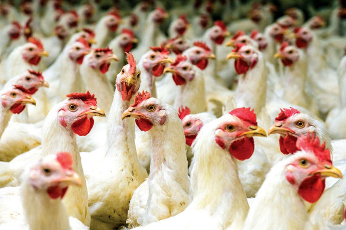 قیمت مرغ در آینده نزدیک سر به فلک می کشد